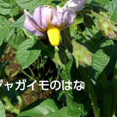 畑の野菜 今日も(3日め)紗夢たんのお父さんは 一…(6枚目)