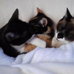 姉弟猫/仲良し/春のフォト投稿キャンペーン/LIMIAペット同好会/フォロー大歓迎/ペット/... 一歳過ぎたお寝坊さん