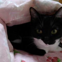 白黒猫/甘えん坊/フォロー大歓迎/LIMIAペット同好会/にゃんこ同好会/うちの子ベストショット 早く寝ようと待ってる紗夢 なんかお子ちゃ…(1枚目)