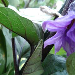 風景/畑/フォロー大歓迎/至福のひととき/おでかけ 畑の花  カボチャの花 秋ナスの花 なり…(2枚目)