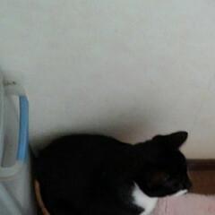 いいね/仲良し/ごみ箱/猫/姉弟/フォロー大歓迎/... 屑入れに入る紗夢と沙羅 今は大きくなった…(4枚目)