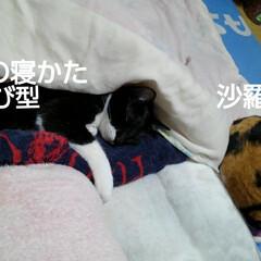白黒猫/にゃんこ同好会 紗夢の寝かた
