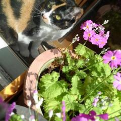 三毛猫/猫のいる生活/ねこ/にゃんこ同好会 紗羅が秘密の場所でお昼寝😻💤💤💤(1枚目)