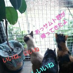 三姉弟/猫のいる生活/にゃんこ同好会/見張り隊 玄関でご機嫌のお眺め隊三匹(2枚目)
