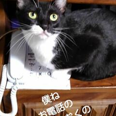 猫のいる暮らし/にゃんこ同好会 紗夢と沙羅が電話の上やプリンターに 乗っ…