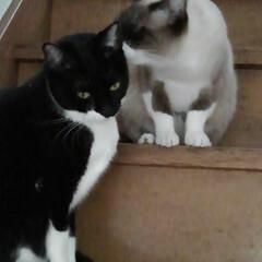 おしゃべり/姉弟猫/フォロー大歓迎 階段の途中でなにやらお話し中 通行の邪魔…