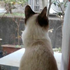 ねこ/風景/姉弟猫/フォロー大歓迎/LIMIAペット同好会/にゃんこ同好会 お外見張り隊 その一 サム隊長がルツ隊員…(2枚目)