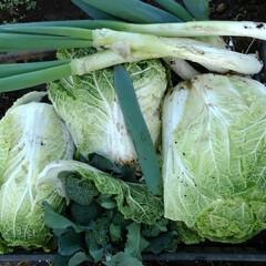 風景/リミアの冬暮らし 昨日の畑での収穫  白菜 ネギ二種類(下…