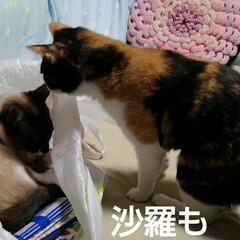 猫のいる暮らし/姉妹猫/にゃ~同好会 昨日の瑠月と紗羅(2枚目)