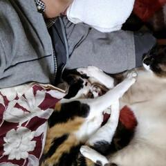 お昼寝/姉弟猫/春のフォト投稿キャンペーン/フォロー大歓迎/にゃんこ同好会/おやすみショット お父さんとお昼寝 実はお父さんの初めての…