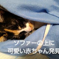 猫のいる生活/にゃんこ同好会 昼過ぎにソファーで沙羅が昼寝 あまりにも…(1枚目)