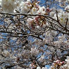 風景/花/花のある暮らし 地主さんの桜 青空によく似合っていた(5枚目)
