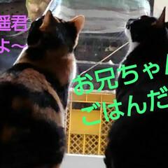 三毛猫/白黒猫/猫/姉弟/フォロー大歓迎 寒くなったせいか紗夢遥くんは 意外とお寝…