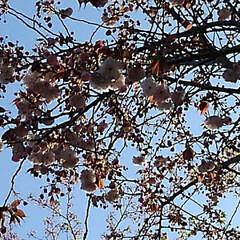 風景/八重桜 満開の八重桜さん 散る前にご紹介 うーく…(2枚目)