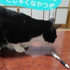 白黒猫/猫のいる生活/にゃんこ同好会/にゃんこ日めくり おはようございます 雪の朝です 予想通り…(8枚目)
