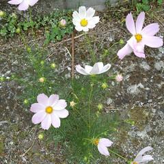 秋の花/コスモス/フォロー大歓迎 道端のコスモス 一本なのにいっぱい花が咲…