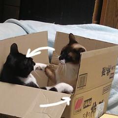 猫のいる生活/にゃんこ同好会/ねこ 箱入り息子と箱入り娘が喧嘩して 仲直りし…(2枚目)