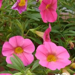 花のある暮らし るっちゃんのみていた紫陽花 上からだと上…(7枚目)