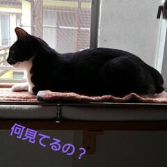 白黒猫/フォロー大歓迎 二階の窓から 紗夢のくつろぎパトロール