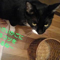 にゃんこ同好会/リミアペット同好会/猫/白黒猫/フォロー大歓迎 紗夢のかごはいり講座