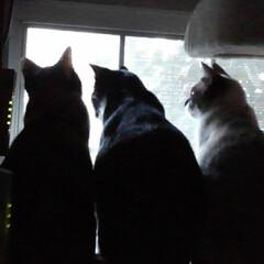 猫のいる生活/にゃんこ同好会/キャットタワー 朝の見張り隊  朝早くから日課にしている…