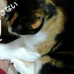 猫のいる暮らし/にゃんこ同好会 沙羅、母の手枕で寝る 母はこまることしば…