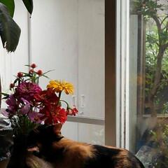 風景/畑/夏のお花/猫/姉妹/フォロー大歓迎/... 畑の乳母ユリ 1つしか咲いてなかった 今…(4枚目)