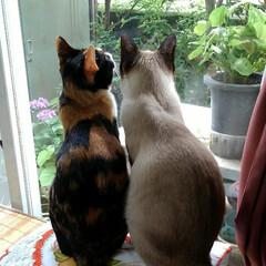 お外見張り隊/三姉弟猫/雨季ウキフォト投稿キャンペーン/フォロー大歓迎/LIMIAペット同好会/にゃんこ同好会 白いにゃんこさんがお外にいたので3にゃん…(4枚目)