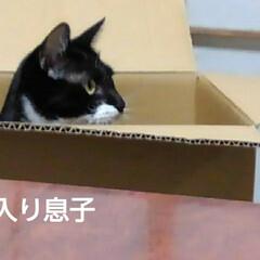 三姉弟猫/にゃんこ同好会 昨日の3にゃんずの箱遊び