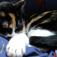 昼寝/三毛猫/猫のいる暮らし/にゃんこ同好会 沙羅ちゃんのお昼寝 なんか考えながらのお…(1枚目)