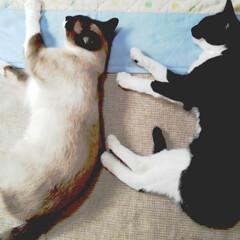 お昼寝/仲良し/姉弟猫/令和元年フォト投稿キャンペーン/フォロー大歓迎/LIMIAペット同好会/... お馴染み お昼寝タイム 二匹で仲良く寝て…