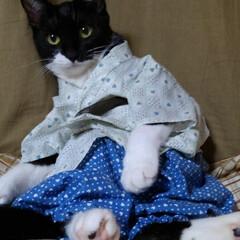 白黒猫/浴衣/フォロー大歓迎/LIMIAペット同好会/にゃんこ同好会/ブルー/... 僕も浴衣でモデルさん ちょっと恥ずかしい…