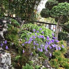 秋の花 「シャジン」と云う花 これもお友達のご主…