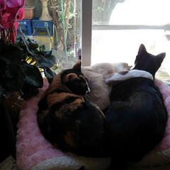 猫のいる生活/ねこ/にゃんこ同好会  仲良くお昼寝タイム  大きなベッドで …(2枚目)