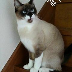 猫/にゃんこ同好会/ご挨拶/シャム猫/フォロー大歓迎 おはようございます🐱 日曜日です  今日…(2枚目)