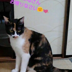 昼寝/三毛猫/猫/フォロー大歓迎 紗羅もこの頃玄関でのお出迎えが 少ない …