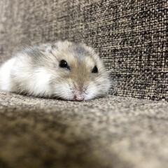 ハムスター/おやすみショット ねむい…