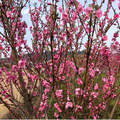 小さい春 ウォーキング中にみつけた桃の花