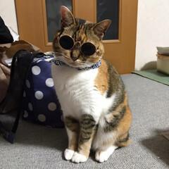 サングラス/ペット/猫/ファッション わなちゃん。 早く夏にならないかにゃ…。…