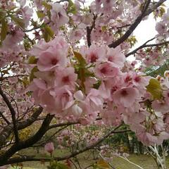 横輪桜/風景 横輪桜 新種の桜だそうです 丸い形と濃い…