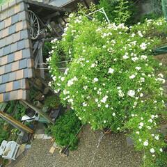 ガーデニング 今日のお庭 2Fからパシャ モッコウバラ…
