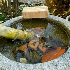メダカ 池の噴水水が流れた状態のまま凍っています…