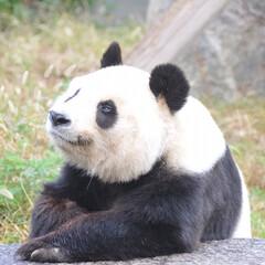 「なんとなくパンダに似てると子供の頃から言…」(1枚目)