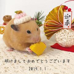 風月/ハムスター/あけおめ/フォロー大歓迎/冬/ペット/... 明けましておめでとうございます🎍✨ ふぅ…