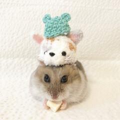 帽子/空月/ハムスター/フォロー大歓迎/冬/ペット/... バランス取れてまちゅ♪ 色んな帽子をかぶ…