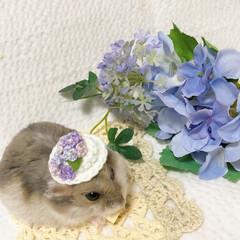 帽子/紫陽花/ハムスター/空月/令和元年フォト投稿キャンペーン/令和の一枚/... とってもステキな紫陽花のお帽子をいただき…