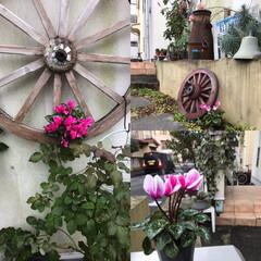 ガーデニング/Xmas/シクラメン/クリスマス/DIY 家の玄関アプローチ Xmas に向けて飾…
