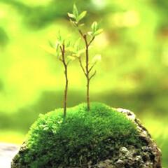 苔玉/盆栽/風景/お気に入り ど  日本 何かいいね  落ち着くんだよね