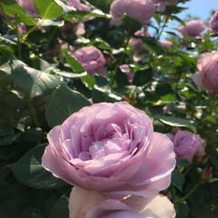 フラワーパーク/グリーン/観覧車/薔薇/令和の一枚/至福のひととき/... 花薫る季節ですね🌼🌺🌹