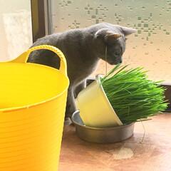 ねこのモモ/猫/にゃんこ同好会 ねこ草が、大好き♡  日向ぼっこが、好き…